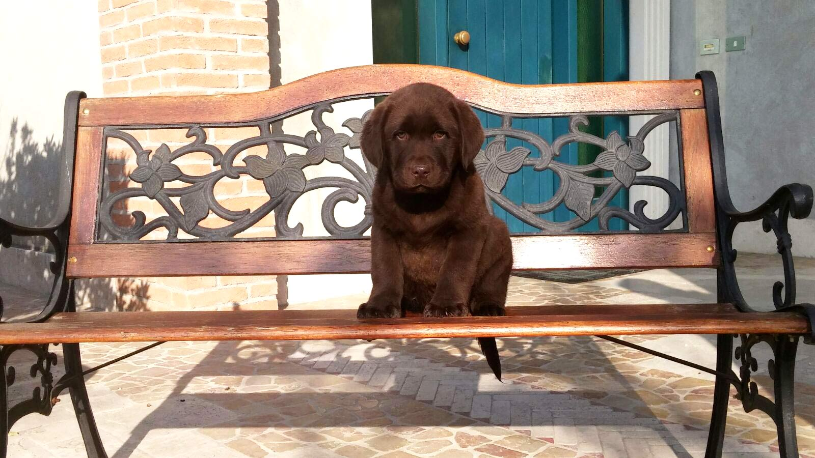 Allevamento Labrador Retriever - Servizio cucciolate